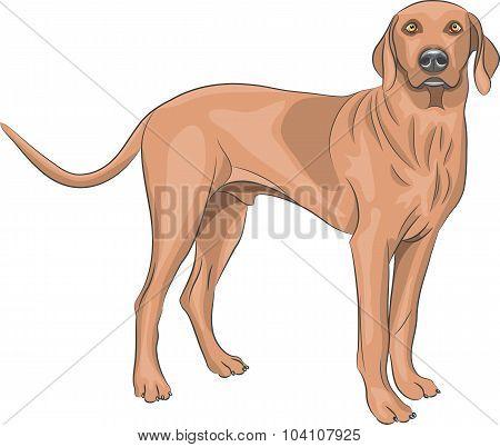 Vector. Hunting Dog.