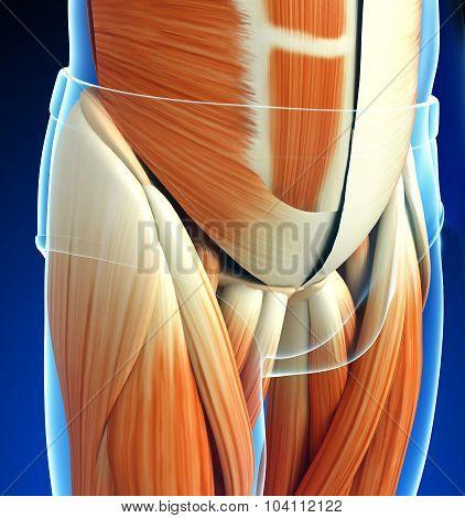 male pelvic muscles anatomy