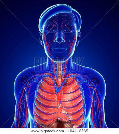 Male Respiratory System
