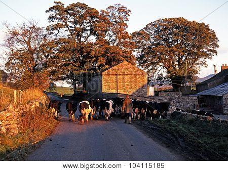 Farmer walking herd of cattle.