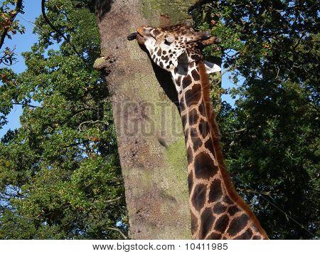 Giraffe Licking The Bark On Tree
