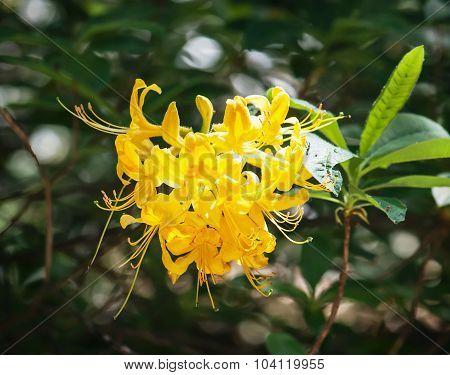 Closeup Of Yellow Lily Flower (lilium Lancifolium)
