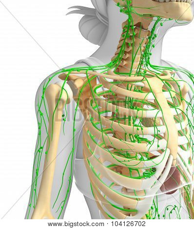 Lymphatic System Of Female Skeleton Artwork