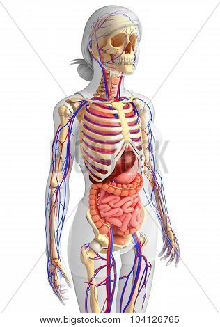 Female Skeletal, Digestive And Circulatory System
