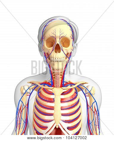 Male Skeletal And Circulatory System