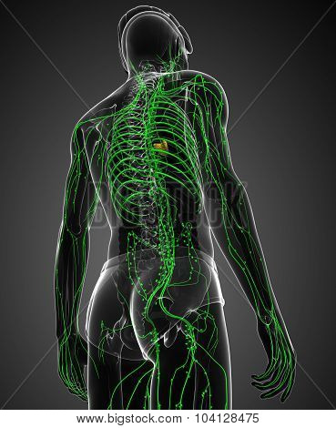 Lymphatic System Of Male Body