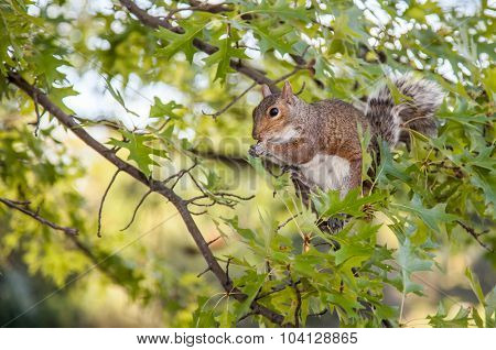 Grey Squirrel in Central Park New York
