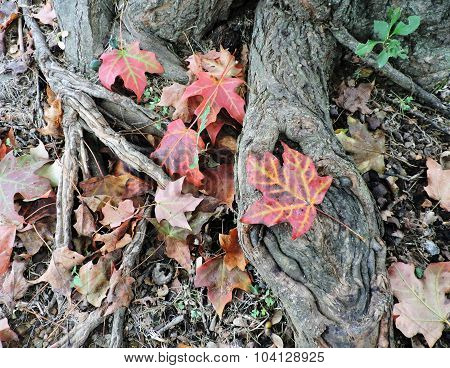 Fallen Autumn Maples Leaves on Tree Trunk