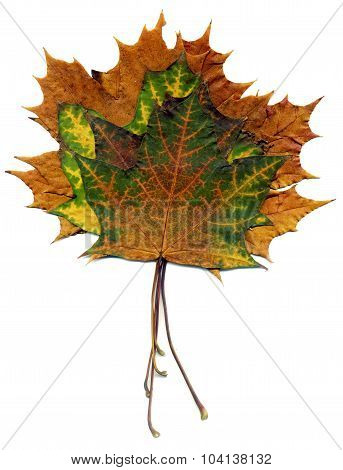 Boquet Fall Maple Leaves