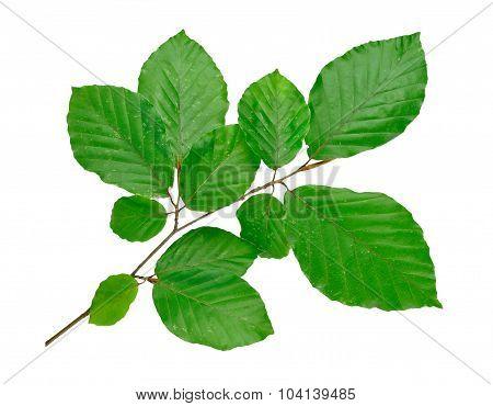 beech tree twig