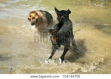 Dogs in lake
