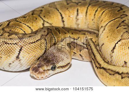 Royal Ball Python Lemon Blast mutation pet.