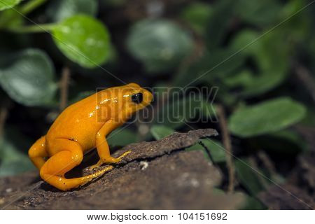 A tiny orange Poison Dart Frog at the local zoo.