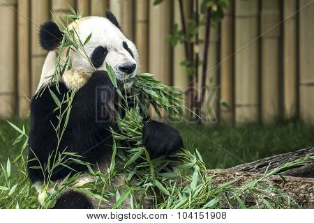 Giant Panda at the local zoo eating bamboo shoots.