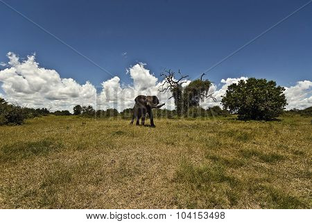 African Elephant (loxidonta Africana)