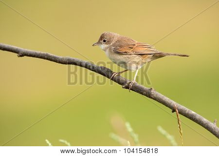 Common Whitethroat On A Branch