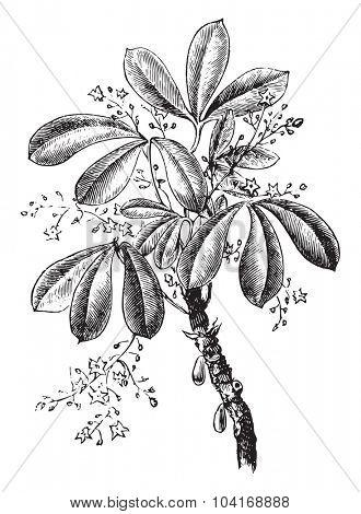 Siphonia elastic, vintage engraved illustration. Industrial encyclopedia E.-O. Lami - 1875.
