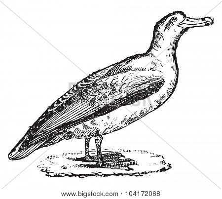 Albatross, vintage engraved illustration. Dictionary of words and things - Larive and Fleury - 1895.