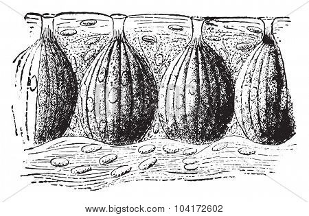 Taste buds, vintage engraved illustration.