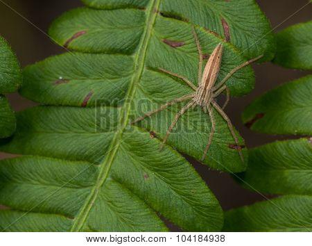 Running Crab Spider