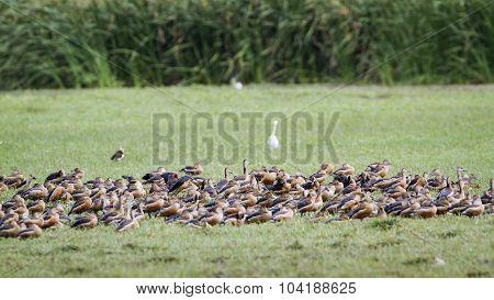 Lesser Whistling-duck In Bundala National Park, Sri Lanka