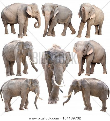 Female And Male Asia Elephant Isolated