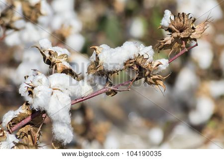 Cotton Plant Ready To Harvest