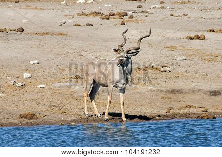 Kudu - Etosha, Namibia