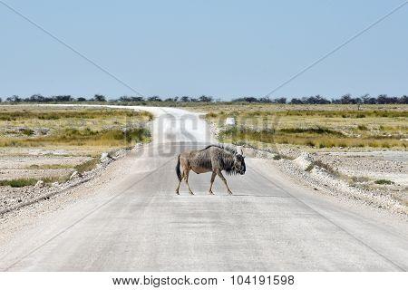 Wildebeest - Etosha, Namibia