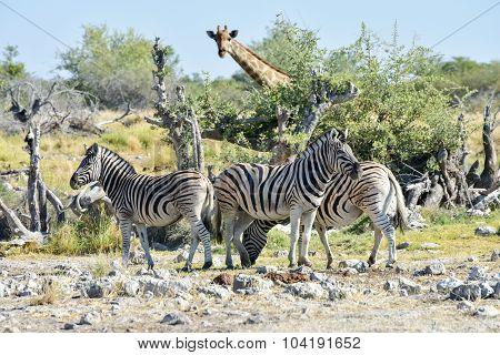 Zebra - Etosha, Namibia