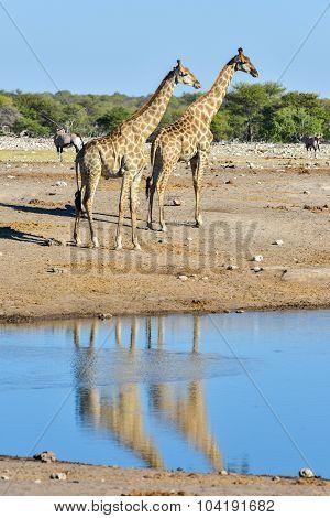 Giraffe - Etosha, Namibia