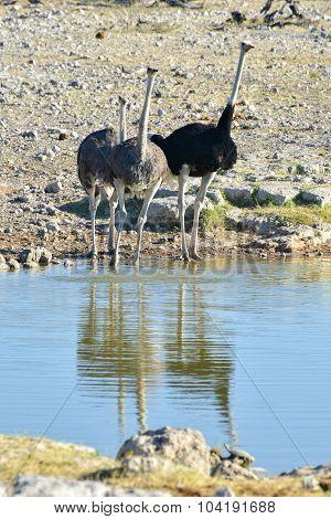Ostrich - Etosha, Namibia