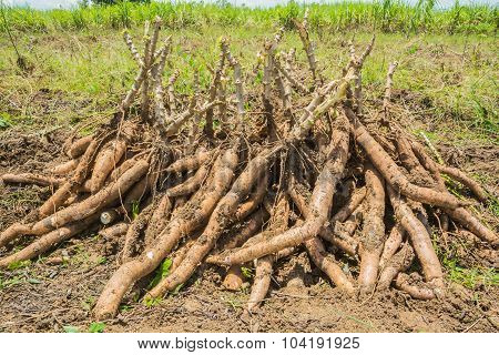 Pile of cassava bulb with cassava tree