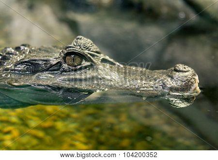 Close up of Crocodile Eye.