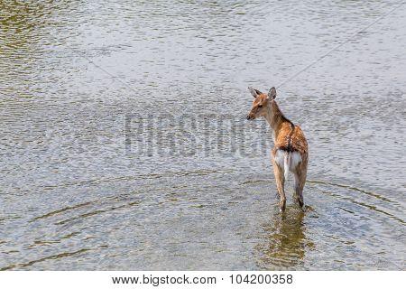 Roe deer in the lake