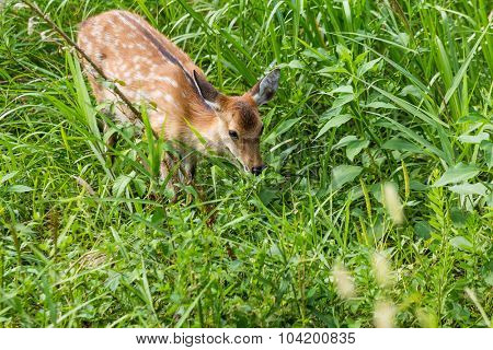 Roe deer eating leaves