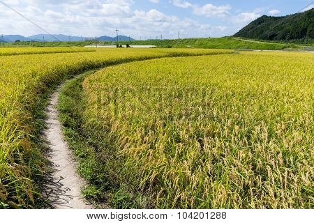 Walkway into green rice field