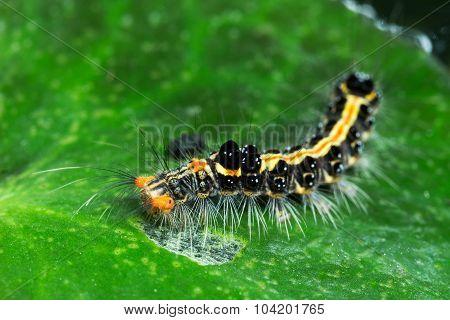 The Hairy Caterpillar Eating  Green Lotus Leaf
