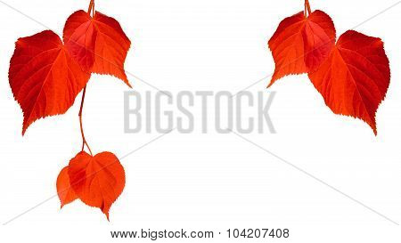 Red Tilia Leaves Isolated On White Background