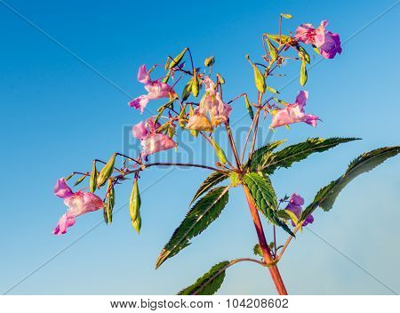 Pink Blooming Himalayan Balsam Against A Blue Sky