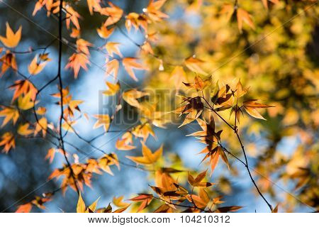 Colorful Maple Leafs