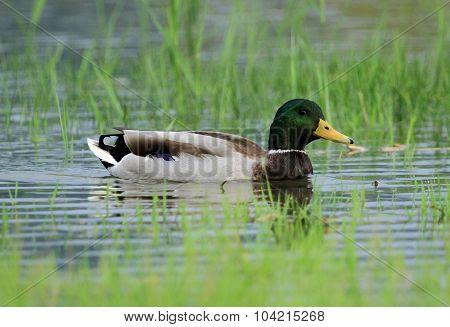 Male mallard or wild duck, anas platyrhynchos, portrait