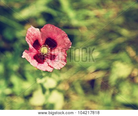 Purple Poppy In A Field