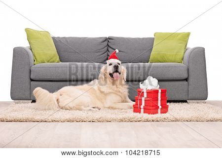 Golden Retriever dog lying on a carpet in front of a gray sofa with a few Christmas presents next to it isolated on white background