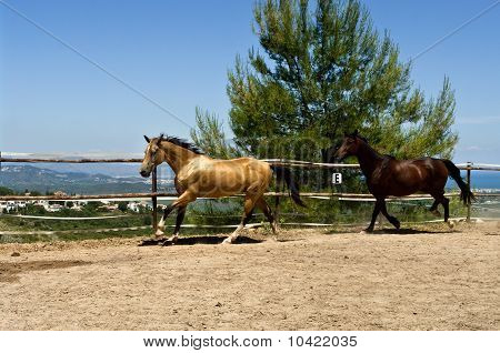 Two horses running on Spanish ranch