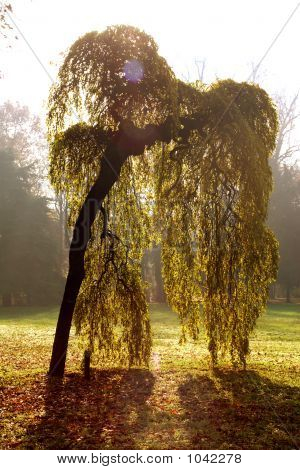 Japan Weeping Willow