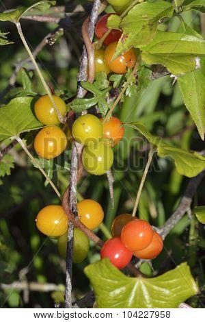 Black Bryony Berries