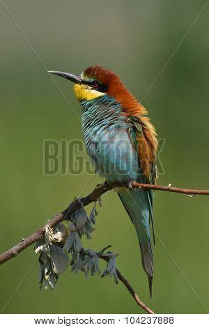 european bee-eaters (Merops Apiaster) in natural habitat