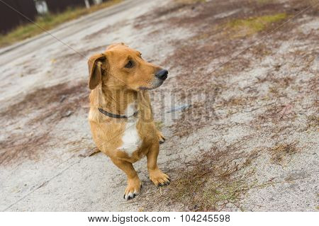 Portrait of cute cross-breed short-legged dog