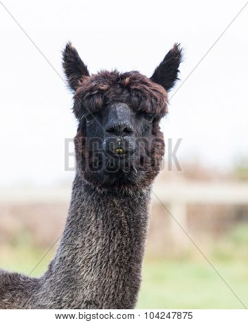 Close Up Face Of Black Fur Alpaca